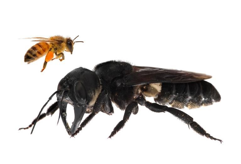 giantbee